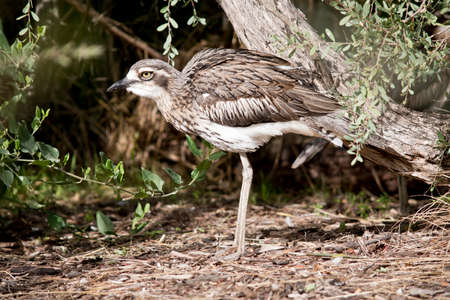 this is a side view of a Bush stone curlew