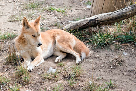 the golden dingo is resting on the grass