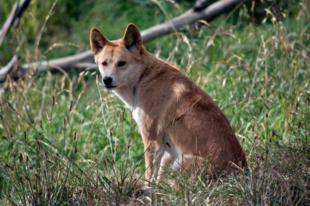 the golden dingo is sitting in the tall grass resting 스톡 콘텐츠