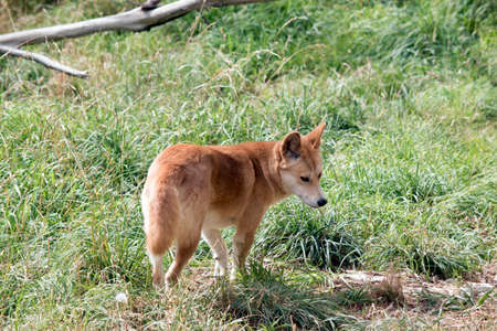 the golden dingo has a bushy tail. he is walking in the tall grass