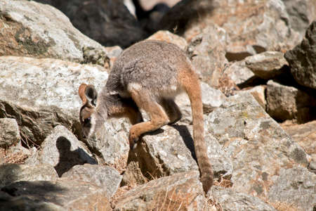 the joey Yellow footed rock wallaby is jumping from rock to rock