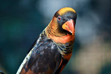 this is a close up of a dusky lory, white-rumped lory also known as a dusky-orange lory