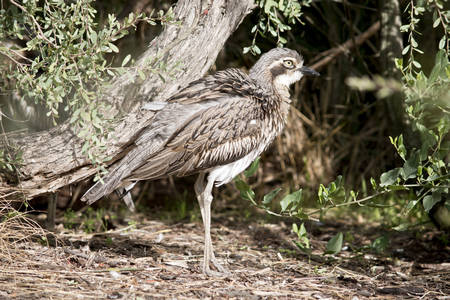 the bush stone curlew is fluffing up his feather to make himself look larger