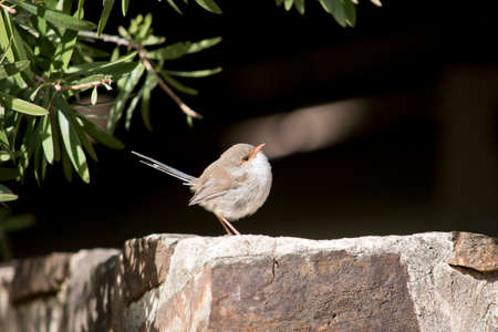the superb fairy wren is on a rock wall resting