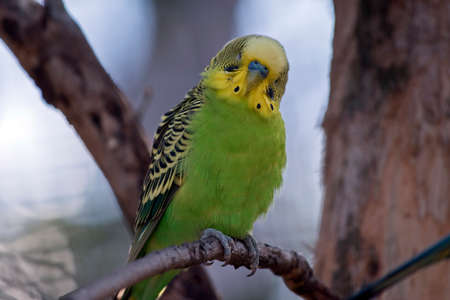 this is a close up of a green and yellow budgerigar or parakeet Stok Fotoğraf
