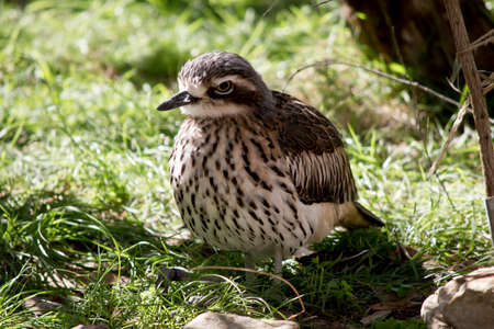 the bush stone curlew is resting in the shade