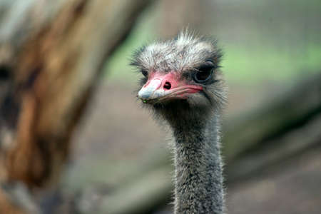 close up of an ostrich