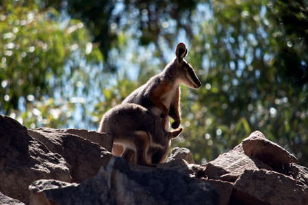the yellow footed rock wallaby feeding her joey Standard-Bild