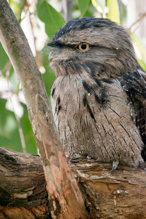 the tawny frogmouth uses its camoflague to hide in a tree