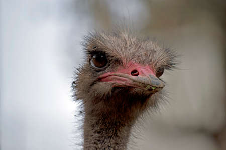 the ostrich is a tall bird that cannot fly