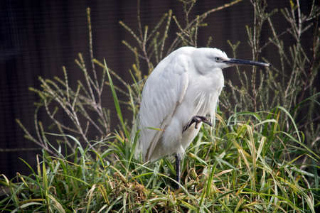 the little egret is resting in the tall grass