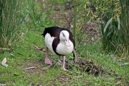 the radjah duck is looking for food in the long grass Banco de Imagens