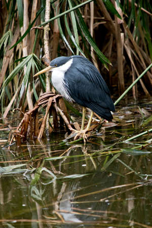 this is a side view of a pied heron