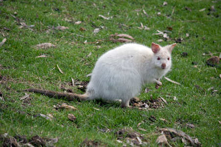 this is a rare albino red necked wallaby eating grass