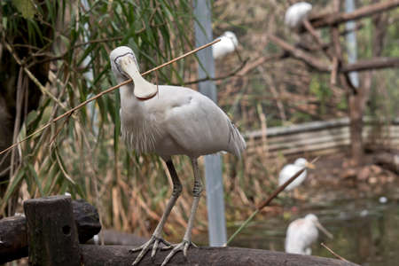 the yellow spoonbill is standing on a fence hold twigs for a nest 写真素材