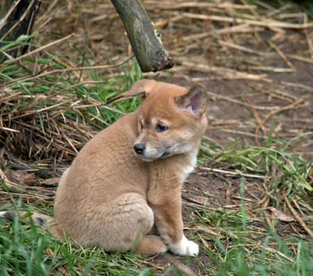 the golden dingo puppy is only 6 weeks old and is sitting on the grass