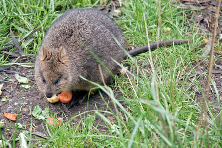 the quokka is eating vegetables, he is very cute