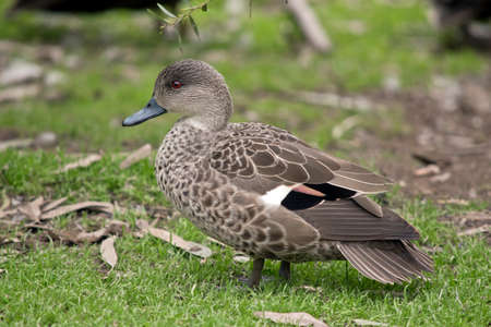 the teal duck is looking for food in the grass