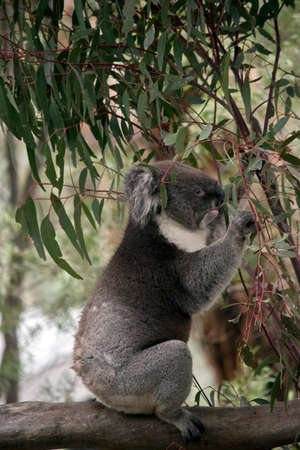the koala is up on a branch eating gum leaves