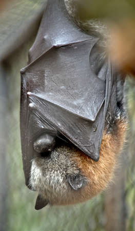 the fruit bat hangs upside down while resting Stock Photo