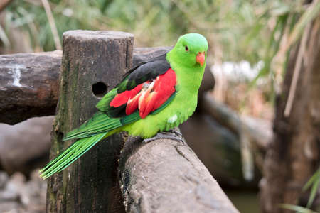 the red winged parrot is perched on a fence