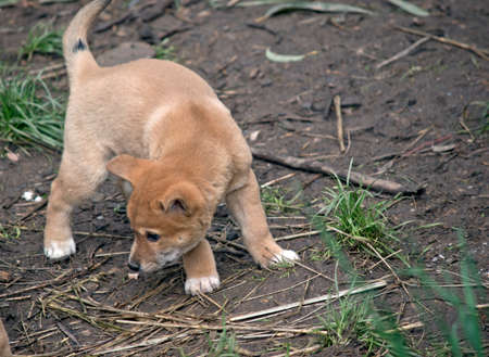 the young dingo pup is exploring his surrounds