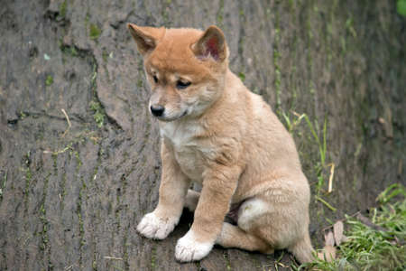 the golden dingo puppy is only 6 weeks old and is sitting on a log