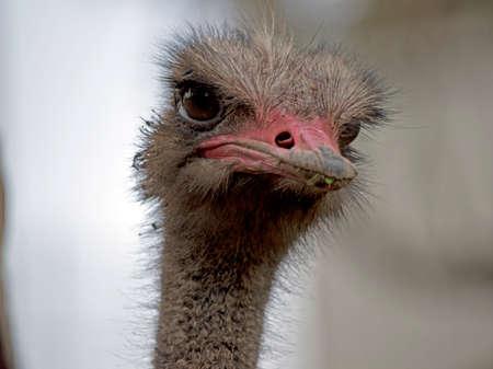 the tall ostrich is eating green grass Stok Fotoğraf