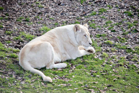 the lioness is in a field resting in the sun