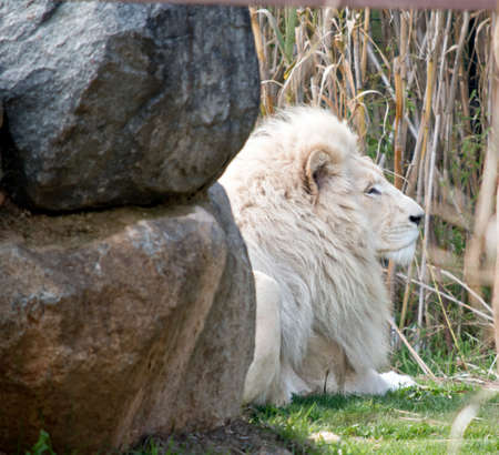 the lion is resting in the shade