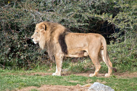 lew stoi nieruchomo i sprawdza swoje otoczenie
