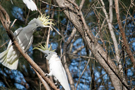 the two sulphur creasted cockatoos are displaying the yellow featherd