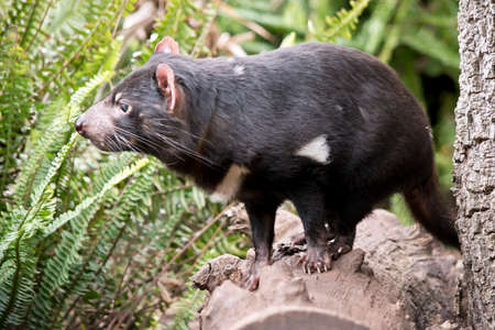 the Tasmanian devil is balancing on a log