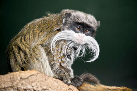 the emperor tamarin is preening his tail
