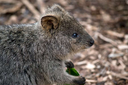 this is a side view of a quokka