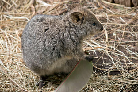 this is a quokka eating a large leaf