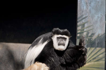 the black and white colobus is sitting resting Stock Photo - 129926080