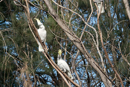 the two sulphur creasted cockatoos are displaying their yellow featherd Stockfoto