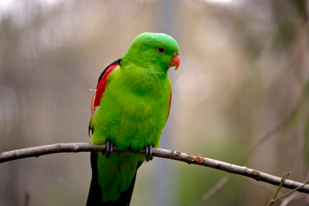 the red winged parrot is perched on a twig