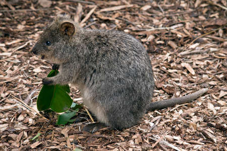 this is a side view of a quokka eating a leaf Stock Photo