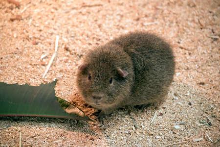 the cute guinea pig is nibbling leaves Banco de Imagens