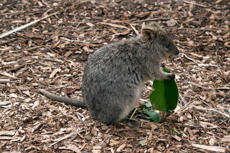 this is a side view of a quokka eating a leaf