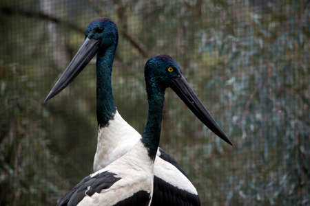 this is a close up of a male and female black necked stork