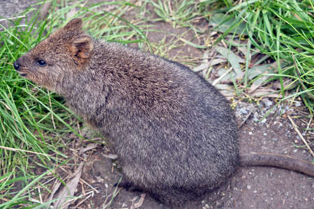 the quokka is walking through the grass 写真素材