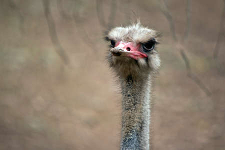 this is a male ostrich in a field