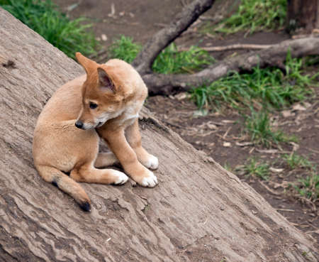 le chiot goldrn dingo est assis sur une bûche