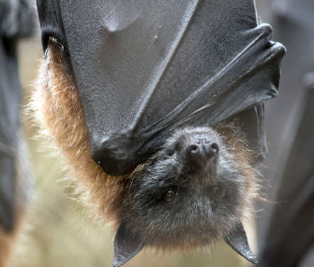 the fruit bat is hanging upside down Stok Fotoğraf