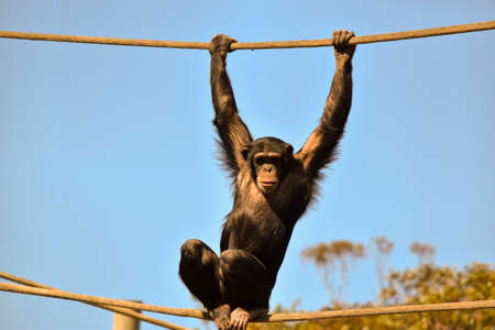 the young chimpanzee is holding the top rope to keep his balance