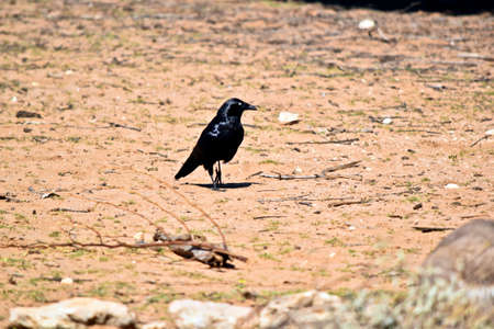 the Australian raven is on the ground in search of food