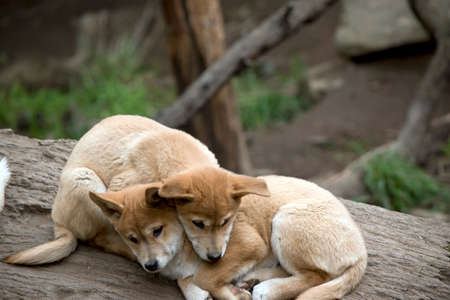 the dingo puppies are resting on a log, cuddled together 写真素材